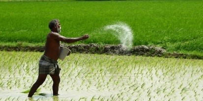 A farmer sows urea fertilizer on a paddy field in Madurai, India
